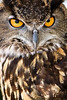 The full impact of an Eagle Owl stare - those are great eyes. From a bird show at Balcones Canyonlands National Wildlife Refuge