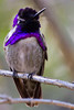 A Costa's Hummingbird shows off his purple throat.