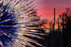 The Chihuly sculpture Sapphire Star in the setting sun with the cactus of the Desert Botanical Gardens in the background